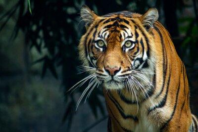 Naklejka  Proud Sumatran Tiger prowling towards the camera