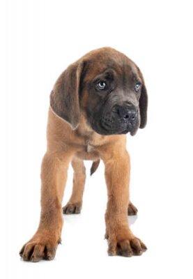 Naklejka puppy italian mastiff in front of white background