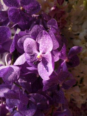 Naklejka Purpurowe Orchidea