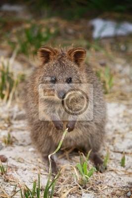 Naklejka Quokka, torbacz australijski