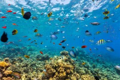 Naklejka Rafa koralowa i tropikalnych ryb w Morzu Czerwonym