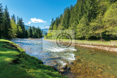 Naklejka rapid mountain river in spruce forest. wonderful sunny morning in springtime. grassy river bank and rocks on the shore. waves above boulders in the water. beautiful nature scenery