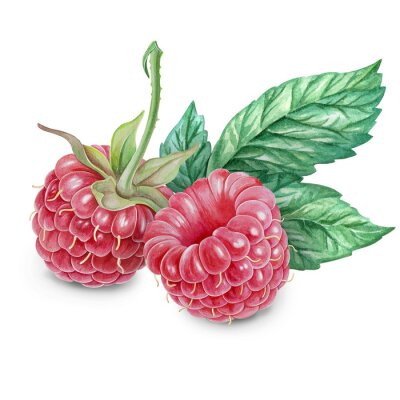 Naklejka Raspberry akwarela