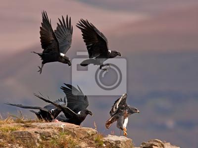 Ravens gonić precz Jackal Buzzard