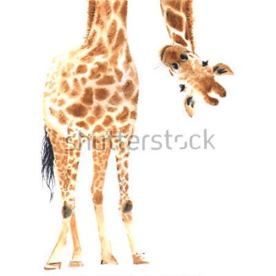 Naklejka Realistyczna żyrafa robić w akwareli. Praca. Ręcznie z ilustracją