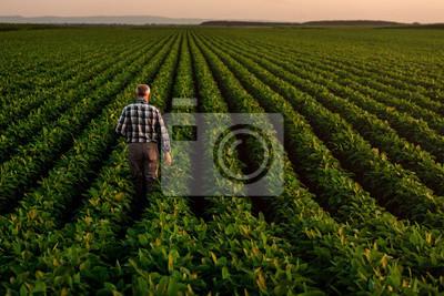 Naklejka Rear view of senior farmer standing in soybean field examining crop at sunset.