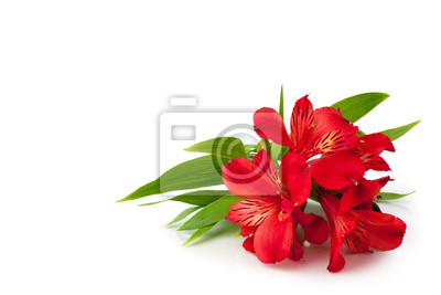 Naklejka Red alstroemeria flowers on white background isolated closeup, bright pink lily flowers bunch for decorative border, holiday poster, design element for banner, lilies floral pattern for greeting card