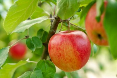 Naklejka Red apple close-up on the apple tree