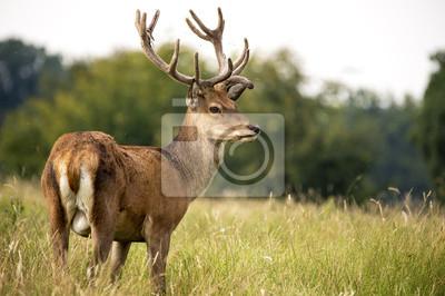 Naklejka Red Deer