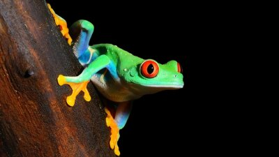 Naklejka red-eye tree frog  Agalychnis callidryas