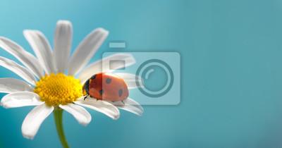 Naklejka red ladybug on camomile flower, ladybird creeps on stem of plant in spring in garden in summer