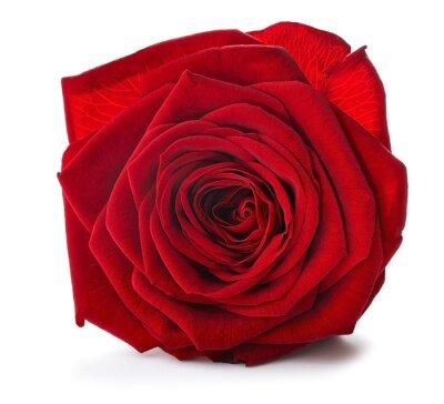 Naklejka Red Rose bliska