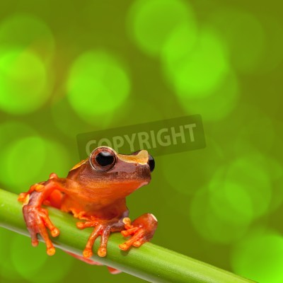 Naklejka red tree frog climbing in tropical Amazon rain forest. Small amphibian with big eyes, Dendropsophus leucophyllatus from exotic jungle of Peru, Brazil, Bolivia, Colombia and Ecuador. Beautiful macro of