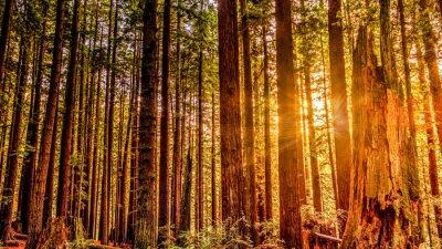 Naklejka Redwood Sun