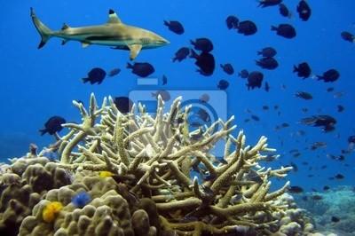 Naklejka Rekiny białopłetwego ponad rafy koralowej
