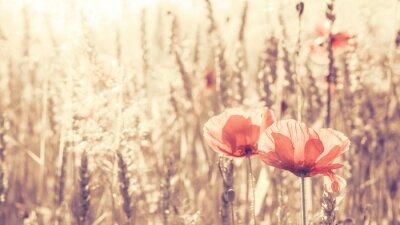 Naklejka Retro stonowanych kwiaty maku na wschód słońca, płytkiej głębi ostrości.