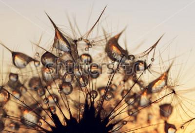 Naklejka Rosa krople na dandelion ziarnach przy wschodu słońca zakończeniem up.