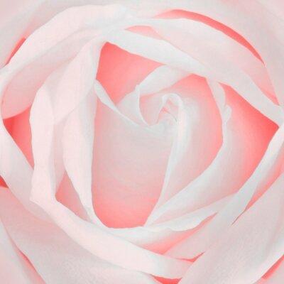 Naklejka Rose Pink
