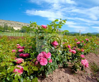 Rosebush na plantacji róży