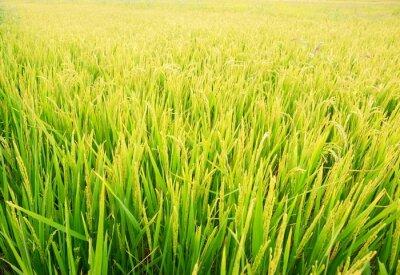 Naklejka Roślin Rice