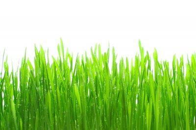 Naklejka Rosy na trawie na białym tle