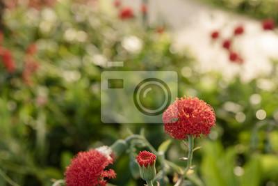 Rote Blume mit Bokeh und Sonnenflecken im Garten