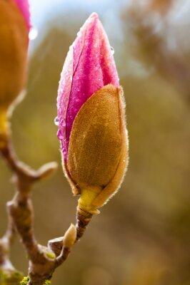 Naklejka Różowy kwiat magnolii bud z kroplami deszczu. Zamknąć widok z rozmycia tła