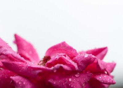 Naklejka Różowy kwiat z krople deszczu przed białym tle