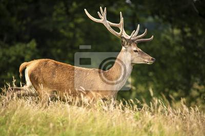 Running Red Deer