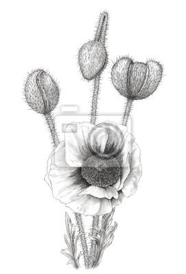 Naklejka Rysunek Poppy (Papaver) na białym tle