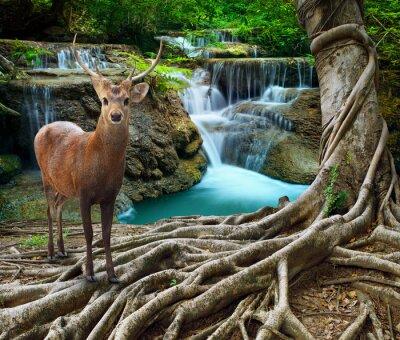 Naklejka sambar deer standing beside bayan tree root in front of lime sto