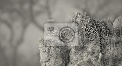 Samotny lampart położył się, by odpocząć na mrowisku w naturze podczas artystycznego nawrócenia w ciągu dnia