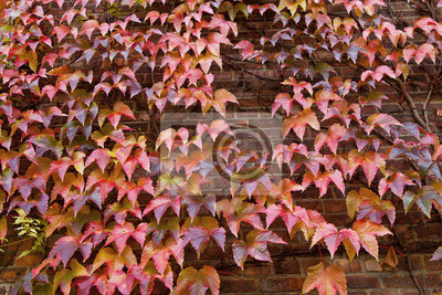 Ściany z cegły z domu porośnięte liśćmi winogron. Jesień.