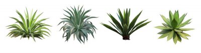 Naklejka Set collection Agave plant isolated on white background.This has clipping path.