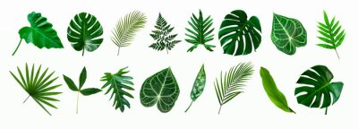 Naklejka set of green monstera palm and tropical plant leaf isolated on white background for design elements, Flat lay