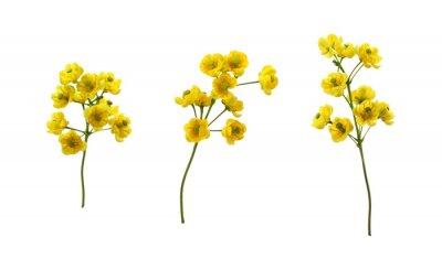 Naklejka Set of small yellow flowers of berberis thunbergii isolated