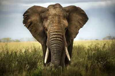 Naklejka sfondo di elefante