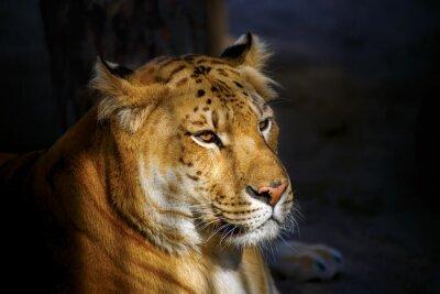 Naklejka Siberian Ligerr oświetlone przez słońce.
