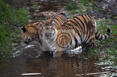 Naklejka Siberian Tiger Cubs (Panthera Tigris altaica) / Tygrys syberyjski Cubs gry w mętnej wodzie