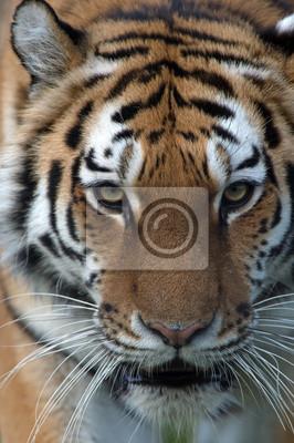 Naklejka Siberian Tiger (Panthera Tigris Altaica)