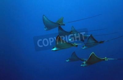 Naklejka Siedem krzykliwy Rays (aetobatus narinari) w Blue, Cozumel, Meksyk