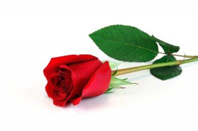 Naklejka single róża leży na białym tle