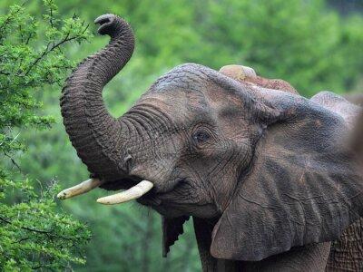 Naklejka Słoń afrykański (Loxodonta africana)