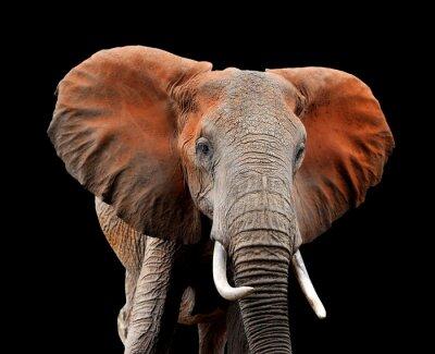 Naklejka Słoń na ciemnym tle