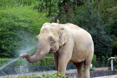Naklejka Słoń z strumieniem wody