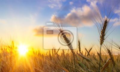 Naklejka Słońce świeciło nad złotym jęczmieniem / pszenicą