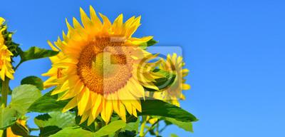 Słoneczniki w tle