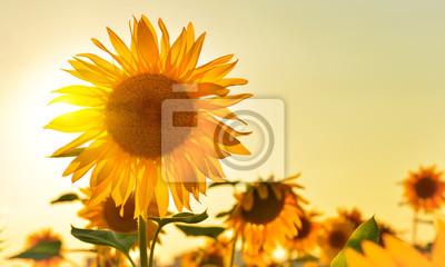 Słoneczny słonecznika