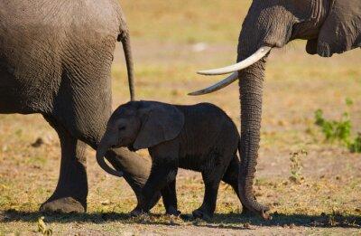 Naklejka Słoniątka idzie blisko matki. Afryka. Kenia. Tanzania. Serengeti. Masajowie Mara. Doskonałą ilustracją.