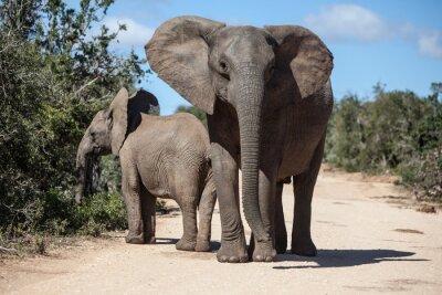 Naklejka Słonie afrykańskie w RPA Park